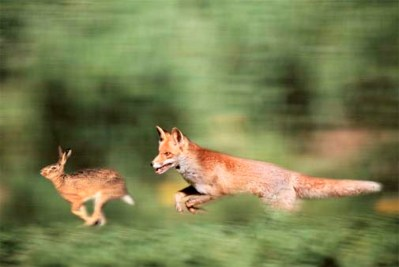 fox_and_rabbit. race