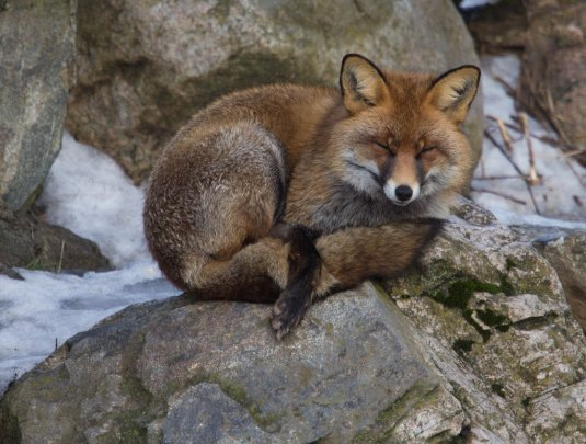 satisfied_fox_by_brommaherman-d4qptx3