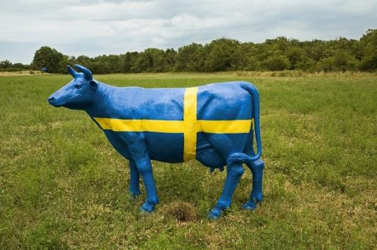 swedish cow