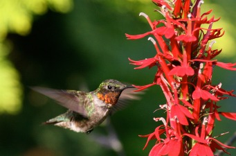 RubyThroatedHummerMaleAtFlowers