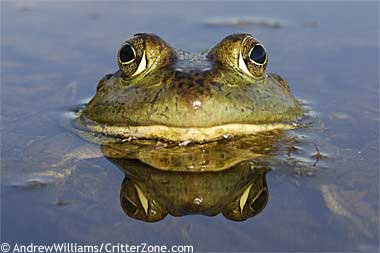 bullfrog-1
