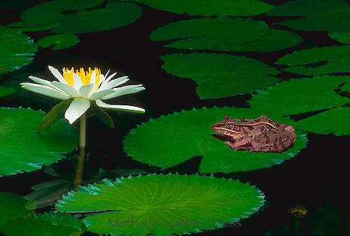 Bullfrog contemplates water lily from a lilypad